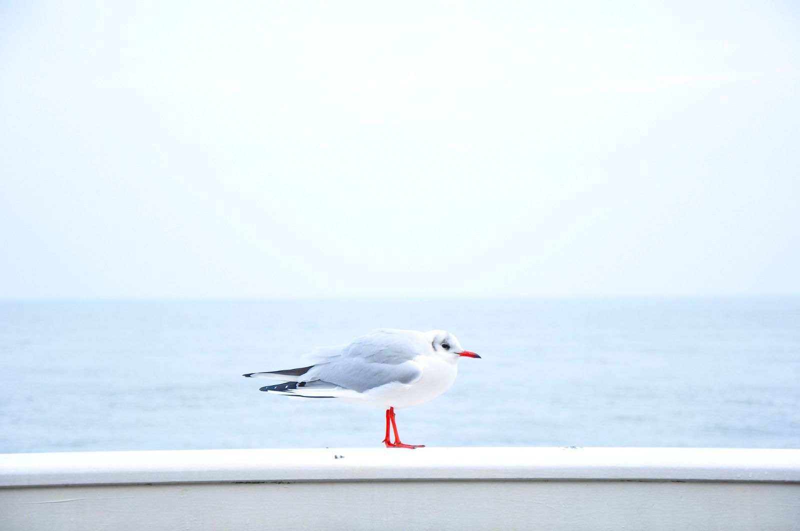 Seaside seagull